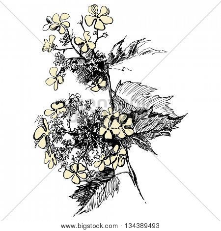Guelder rose sketch on white background