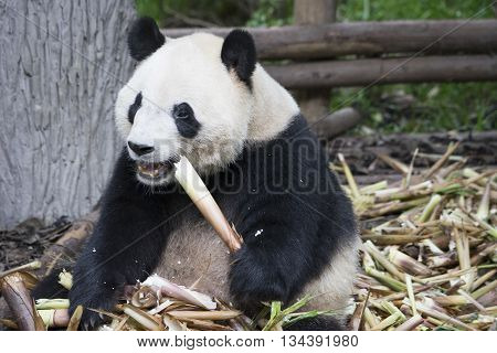Giant panda bear eat a bamboo in Chengdu China