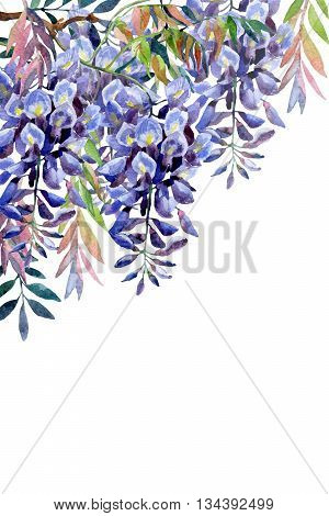 Wisteria flower. Watercolor wisteria card. Hand painted illustration on white background