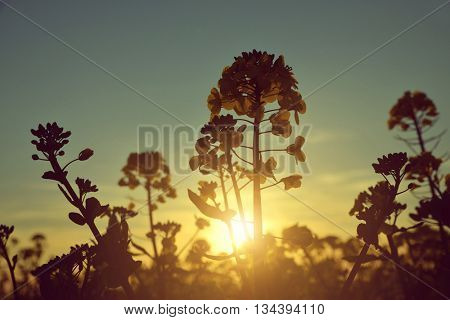Flower of a rapeseed ( Brassica napus ) against setting sun.