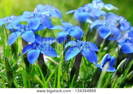 Spring blue gentians  in the green grass close up, flowers growing on a mountain meadow.