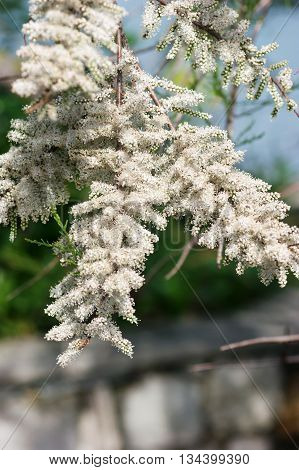 Tamarisk branch with white flowers, collected in inflorescence