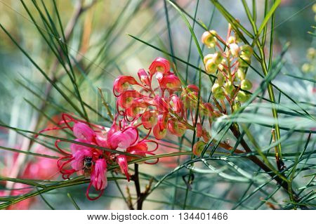 Unusual flowers gathered in inflorescences on Grevillea tree