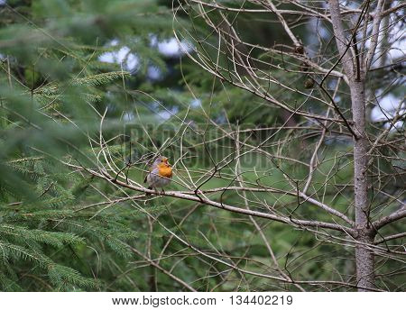 Singing European Robin (erithacus Rubecula) Sitting In A Tree