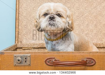 small dog in retro suitcase. travel with animal