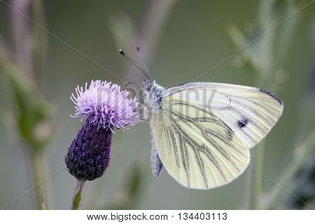 Female European Large Cabbage White butterfly (Pieris brassicae) feeding on a thistle flower.