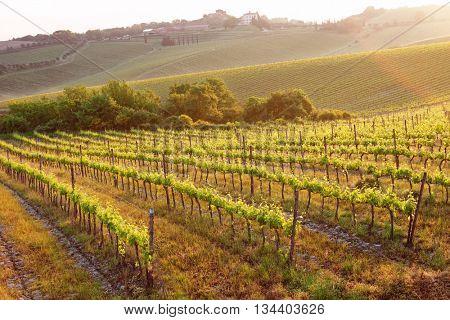 Vineyard at sunrise, Tuscany, Italy