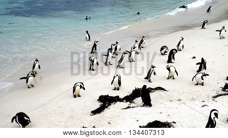 colony of South African black-footed penguins at the Boulders Beach in Simon's Town on the False Bay,