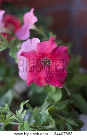 Image full of colourful petunia Petunia hybrida flowers