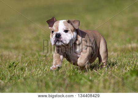 Purebred English Bulldog puppy Moving Toward The Camera Wrinkled Face Close Up