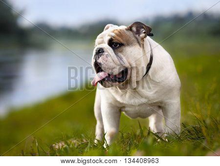 Purebred English Bulldog
