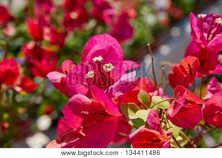 bougainvillea pink flowers in Mediterranean area