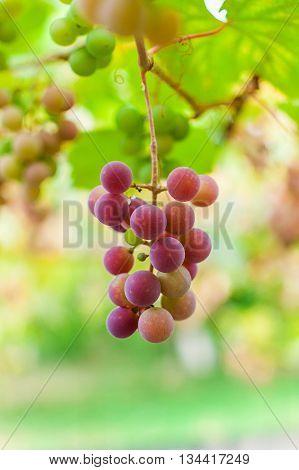 Bunch Of Grape Ripen On Brunch
