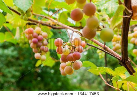 Bunch Of Grapes On Brunch