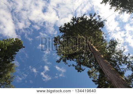 Giant Sequoia (sequoiadendron Giganteum) Seen From Below