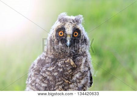 portrait of a little owl, night bird, big eyes, with sunny hotspot
