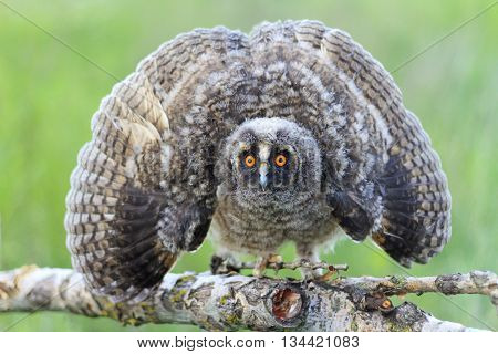 owl frightens the enemy outstretched wings, night bird, big eyes