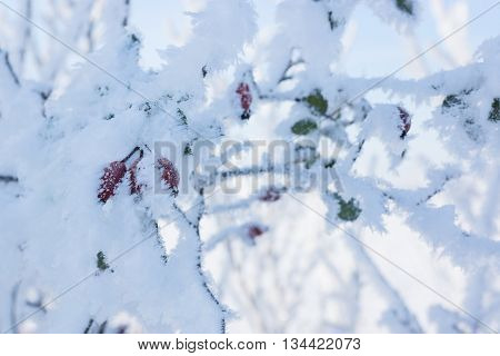 Red rose hip in winter under frost, winter background