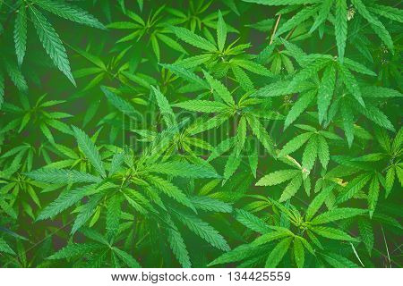 green background with thickets of cannabis closeup