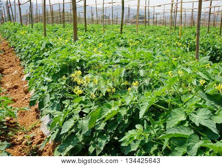 tomato plantation in open field in Thailand