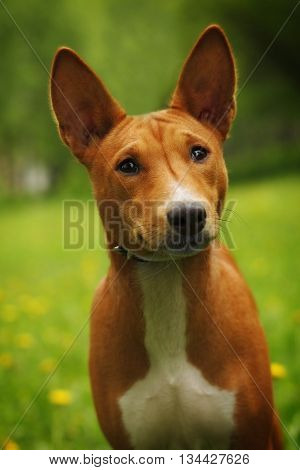 cute dog Basenji looking with a questioning look