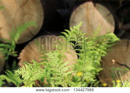 young green fern polypodiophyta leaves growing amongst sawn tree trunks