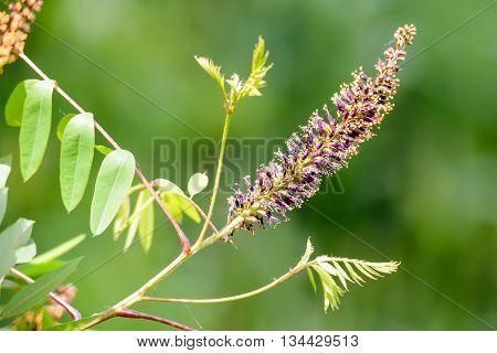 Amorpha Fruticosa Flower