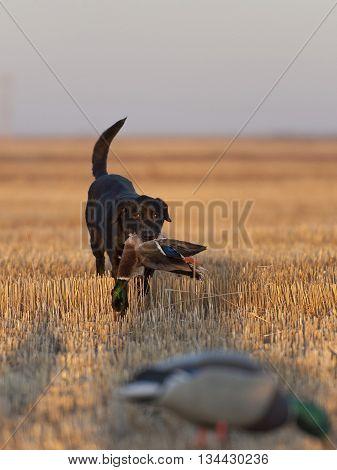 A Black Lab hunting dog with a Mallard Duck