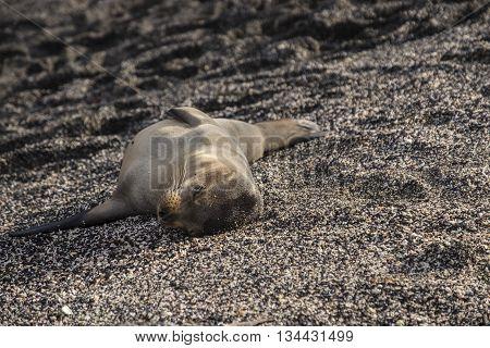 Cute baby sea lion lies sleeping alone on a beach in Galapagos Islands
