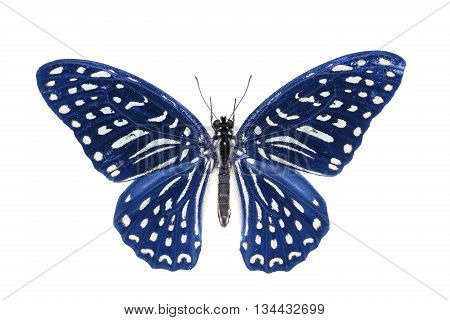 Blue Spotted Zebra Butterfly
