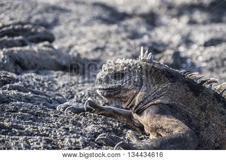 Close-up of a Galapagos iguana asleep on the lava rocks.