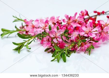 Beautiful flowering twig with pink spring flowers green leaves isolated on white background