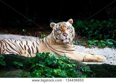 white tiger in the wild safari during daytime