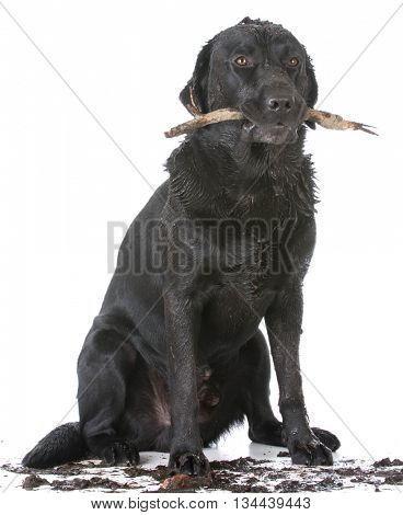 dirty dog with a stick in his mouth on white background