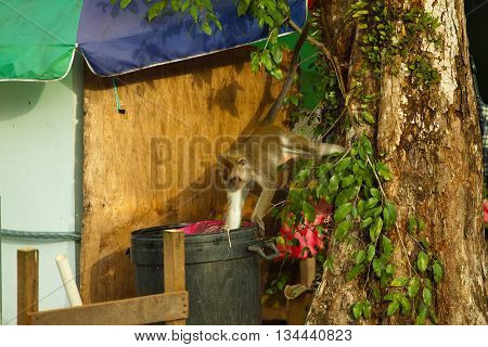 Wildlife monkey eating food from plastic bag from trash can, garbage, Brunei