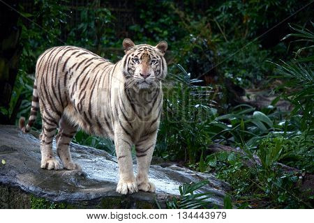 white tiger standing in the wild jungle