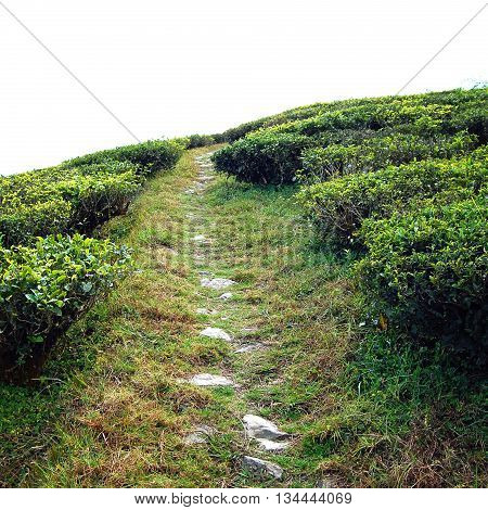 Stone path through Darjeeling tea plantation. Vintage filter photo. Green tea bushes on the North of India. Tea Growing Region. Winter in West Bengal district. India.