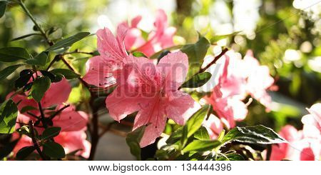 Pink Azalia flowers. Retro filter photo. Branch of pink Rhododendron. Flowering bush. Flowers bloom in spring season. Beautiful rhododendron in the Botanic garden. Aged photo.