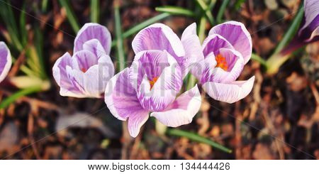 First crocus flowers on the flowerbed. Spring blossoms. Aged photo. Violet crocuses bloom in the park.