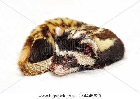 Marbled polecat (Vormela peregusna) lie on white cloth.Vulnerable species in the IUCN Red List.