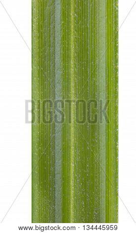 green grass on a white background. fiber green grass close-up. macro.