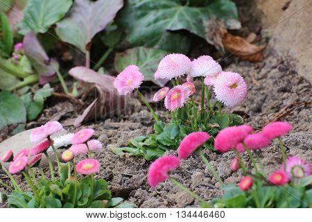 Ornamental Daisies (bellis Perennis) In A Flower Bed