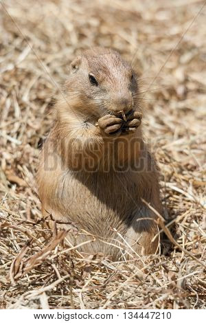 Ground Squirrel Also Known As Spermophilus In Its Natural  Habitat