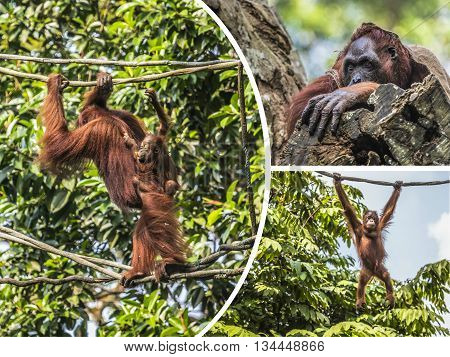 Collage of Orangutan - travel background (my photos)