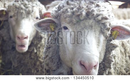 Two Sheep Looking At Camera