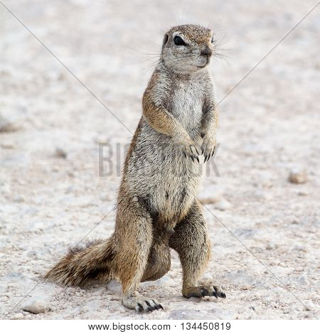 Portrait Of A Male Ground Squirrel