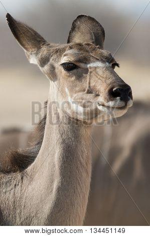 Portrait Of A Kudu (antelope)