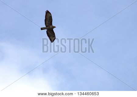 Common Buzzard (buteo Buteo) In Flight On Blue Sky