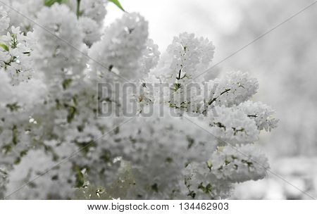 Close-up beautiful lilac flowers . Branch with spring lilac flowers.