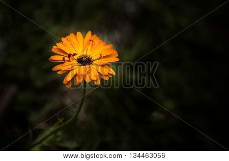 Orange marigold (calendula) on a dark background